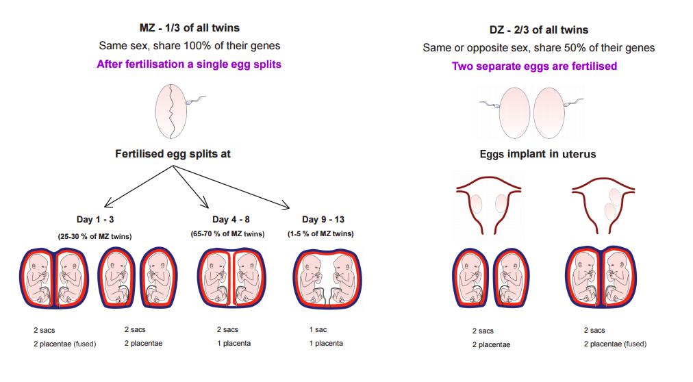 Conception&Zygosity_Image