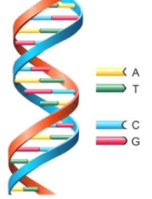 Figure 3: showing a DNA double helix